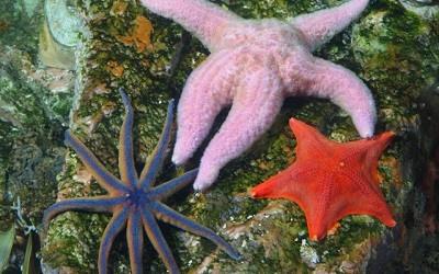 Curiosidades Sobre Las Estrellas de Mar