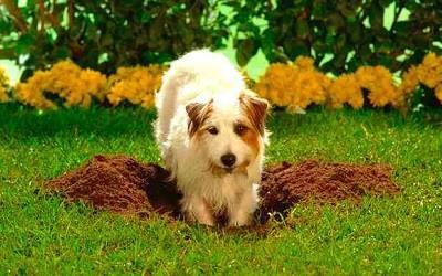 Perro Escavando