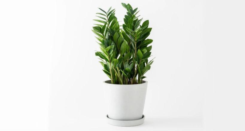 cuidados de la planta Zamioculca